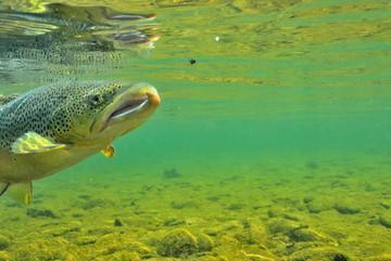Underwater Brown trout 708 0462.JPG