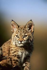 Young Bobcat_04.JPG