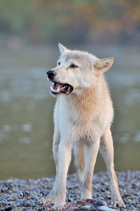 Wolf Alaska  BC BECK Image0004.JPG