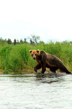 0582  ak grizzly 2012.jpg