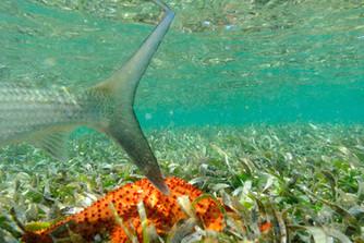 Underwater bonefish 0151A.JPG