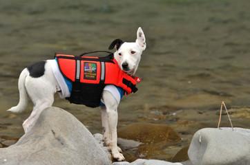 Trixie the water dog -Fox Terrier0008.JPG