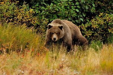 grizzly bear00006.jpg