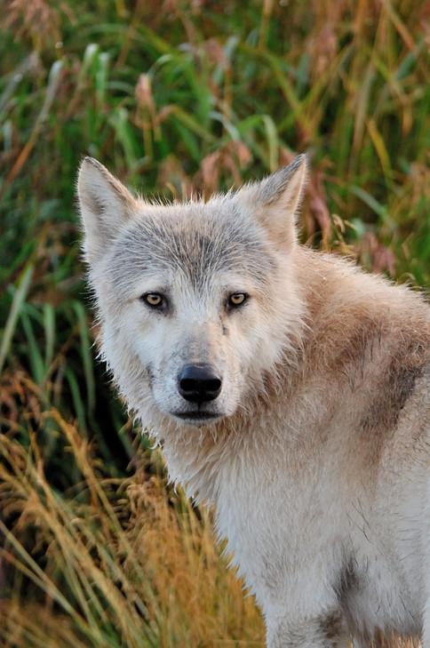 Wolf Alaska BECK 20070020.JPG