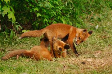 red fox pups  b&c beck image103.jpg