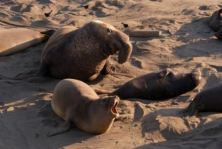 elephant seals 0231.jpg