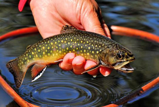 Wild brook trout  07 BC BECK Image0007.JPG