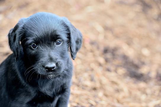 459 puppies.jpg