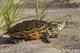 Turtle Programs