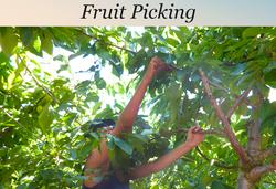 Fruit Picking Golan Heights