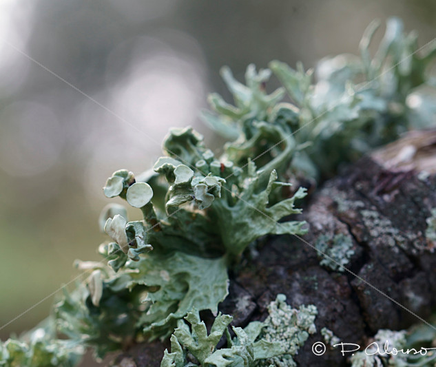 Ramalina__LÍQUENES_copia_flickr.jpg