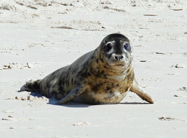 lily_grey seal release_h-grypus_assateag