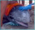 Rocky the Risso's dolphin.jpg