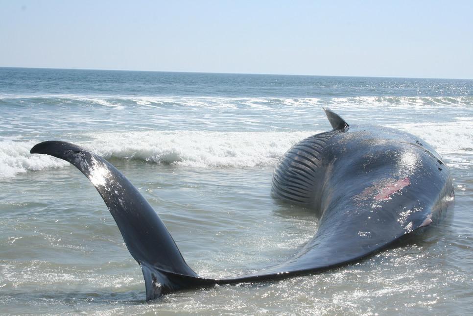 61' Fin Whale.JPG