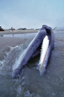 Minke whale baleen.jpg