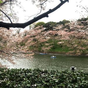 桜とボート、千鳥ヶ淵にて。