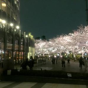 桜、満喫。