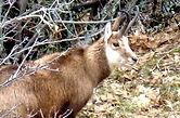 Beaucoup d'animaux sauvages sont à observer dans le mercantour alpes maritimes, notamment vers estenc et le col de la cayolle