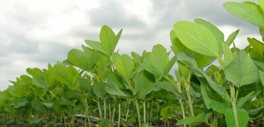What exactly is a soybean plant?