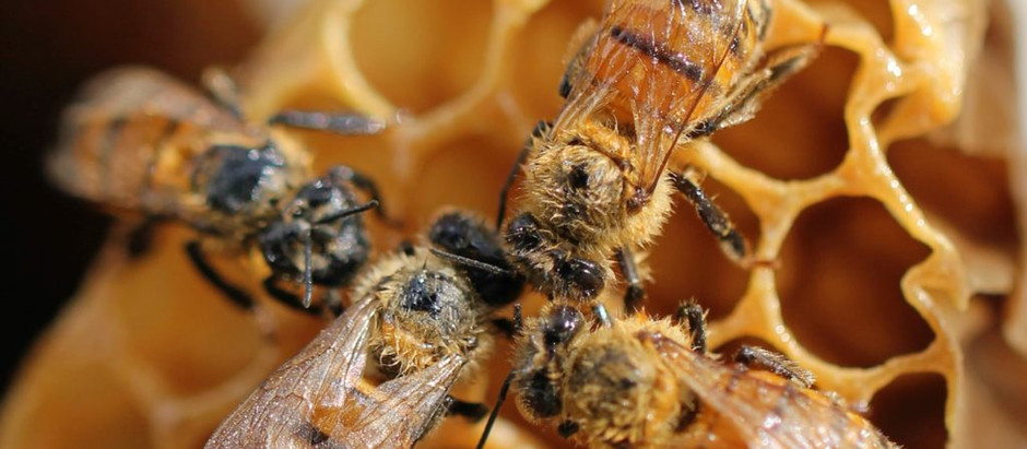 Beeswax – How is it obtained?