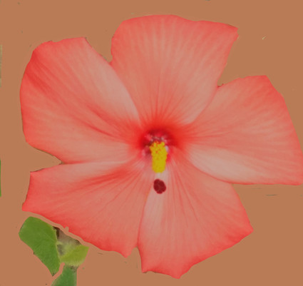 Native Red Hibiscus matt.jpg