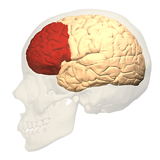 Prefrontal_cortex_left_-_lateral_view pr