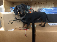 Merlo helping with our Flamers delivery!