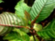 Kratom Leaf, Ketum Leaf, Kratom, Ketum, Buy Kratom, Red Vein, Green Vein, Yellow vein, White Vein