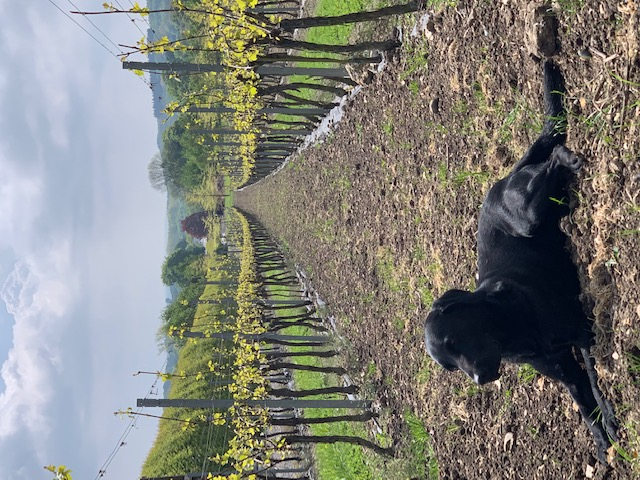 english-vineyard-dog