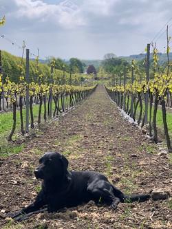 english-vineyard-dog
