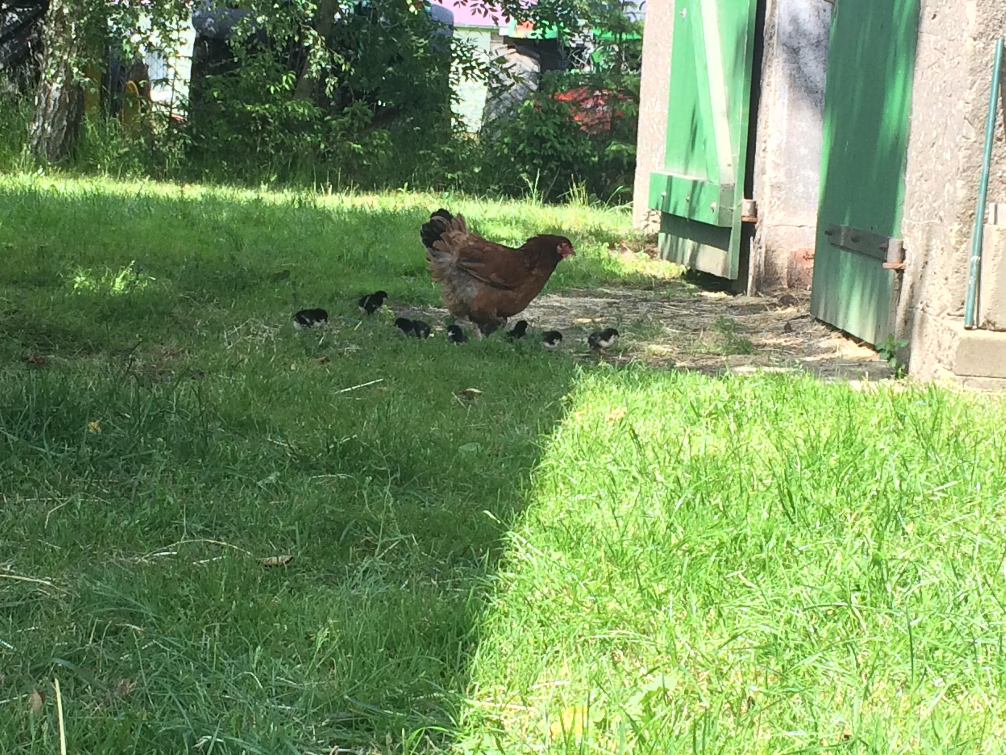 Eine Henne mit ihren Babys