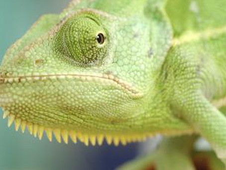 Is a lizard keeping you up at night?