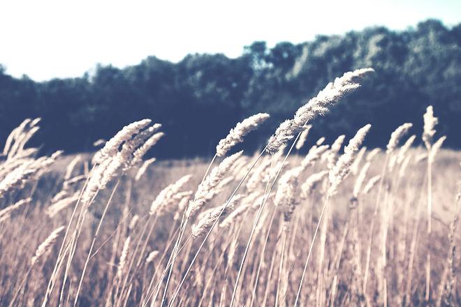 Wheat Field_edited.jpg