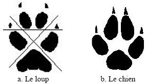 traces chien vs loup2.jpg