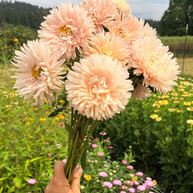 King Size Apricot China Aster August 2019