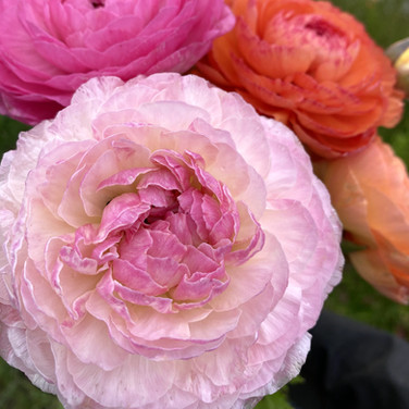 Champange and Purple Jean Ranunculus March 2020