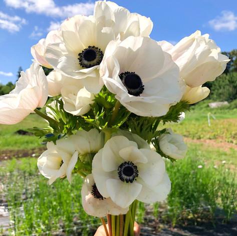 Black and White Anemone June 2019