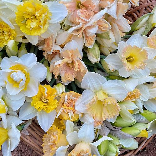 Heirloom Daffodil Bulbs