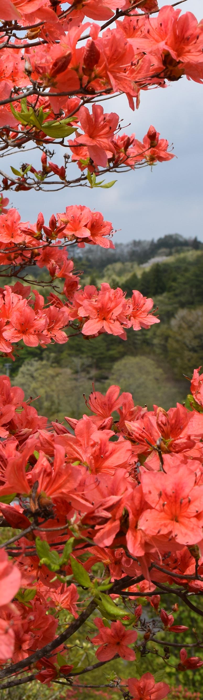 入選 笹島 昭 ランド、背に咲ききそう.png