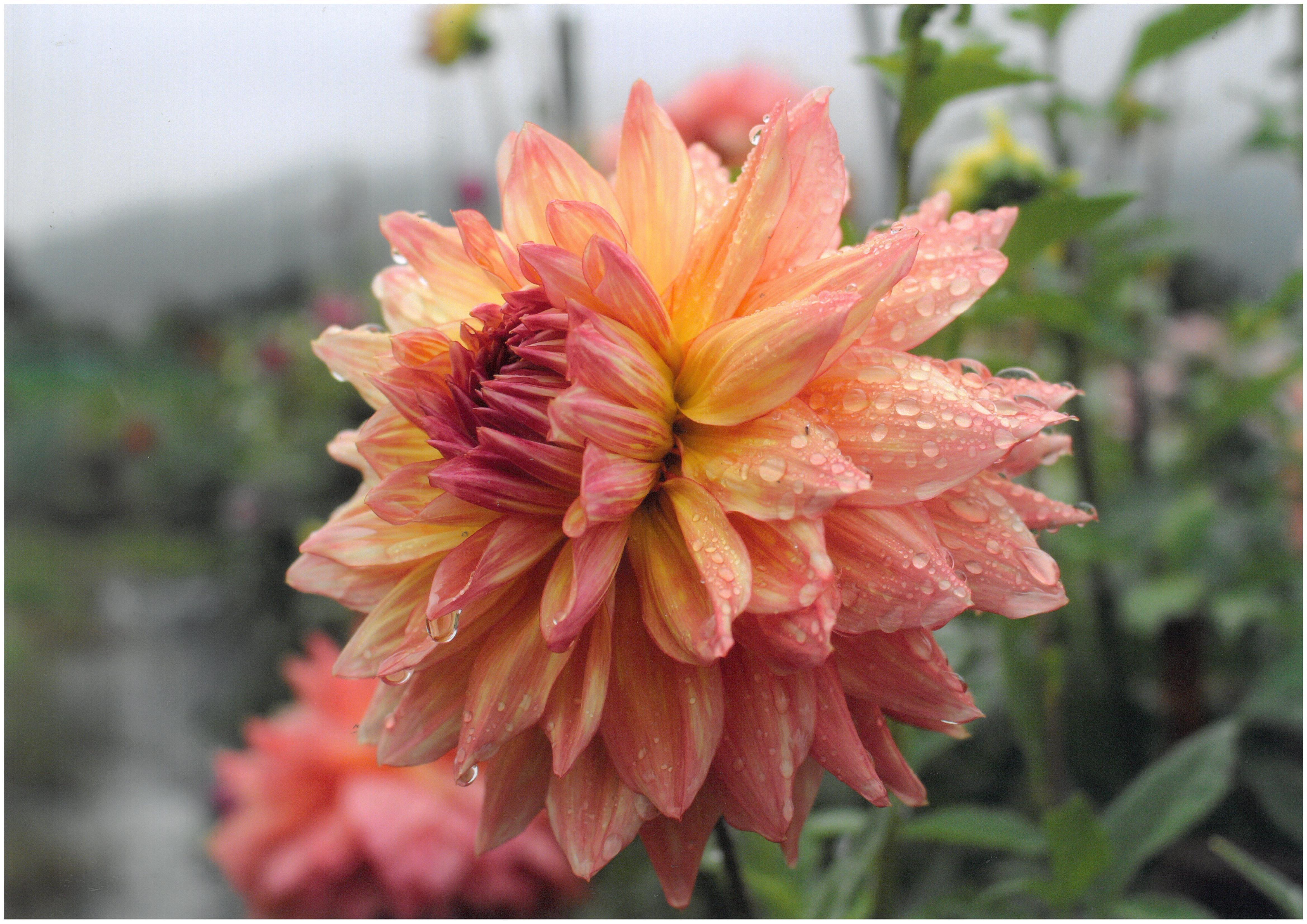 入選「花と水滴」