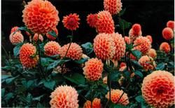 入選「花の精」