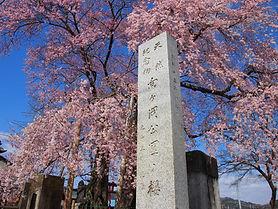 向ヶ岡公園の桜.JPG