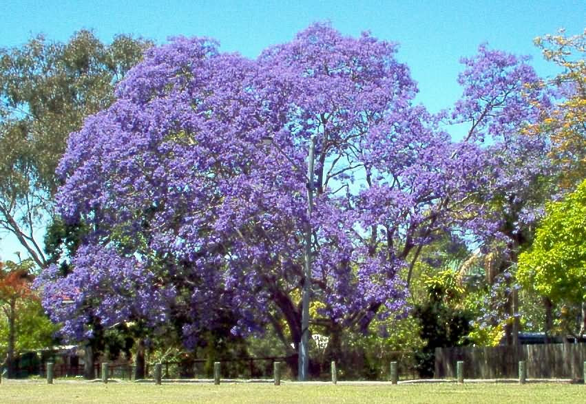 Earth Kitchen Hesaraghatta A Jacaranda tree in full bloom