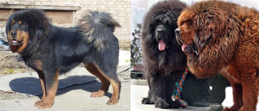 Tibetan mastiff Earth Kitchen homestay
