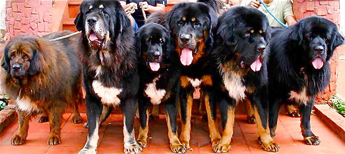 tibetan mastiff family at Earth Kitchen homestay farmstay