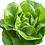 Thumbnail: Hydroponic Butterhead Lettuce Head