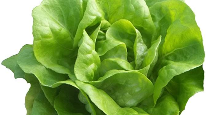 Hydroponic Butterhead Lettuce Head