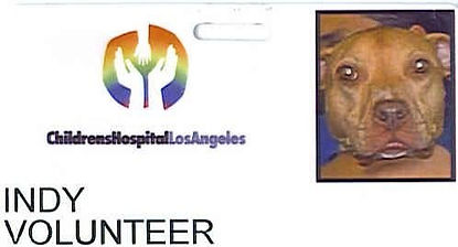 Childrens Hospital Los Angeles Love on 4 Paws Volunteer Pit Bull Therapy Dog
