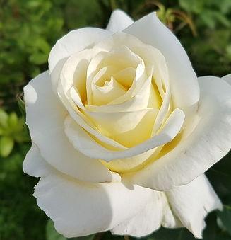 CYO-whiterose1_edited.jpg