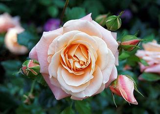 rose-peach.jpg